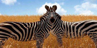 2 Zebras 950x534