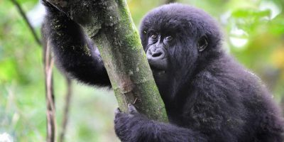 Adventurer Rwandas Gorilla Tracking
