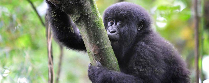 Adventurer Rwandas Gorilla Tracking