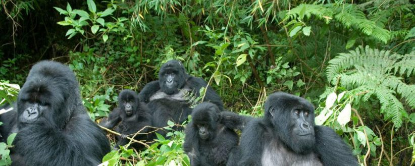 Adventurer Uganda Rwanda Gorilla Trek
