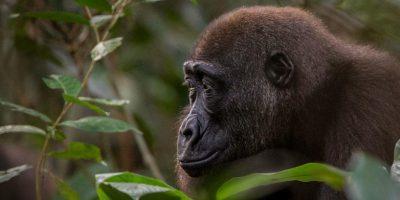 Gorilla Game Parks Zanzibar