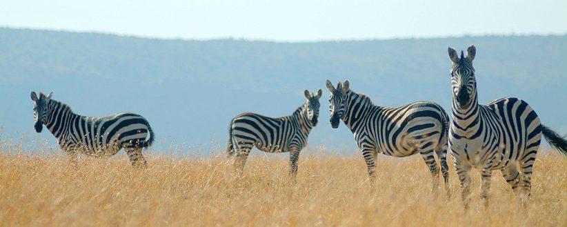Kenyas Amboseli Mara