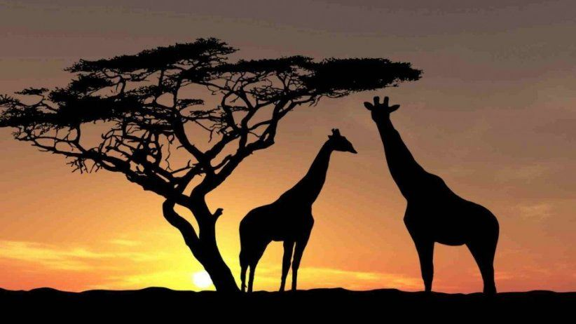 Africa Wildlife Giraffes Trees Sky Photo 950x534