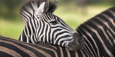 Africa Zebra 950x534