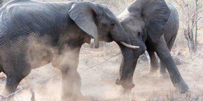 Battle For Supremecy Elephants 950x534