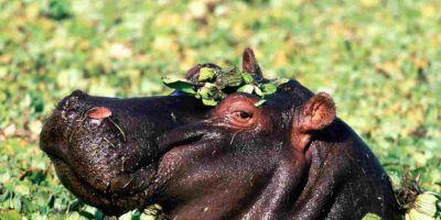Hipopotamo Hd 950x534