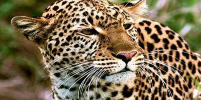 Leopard 950x534