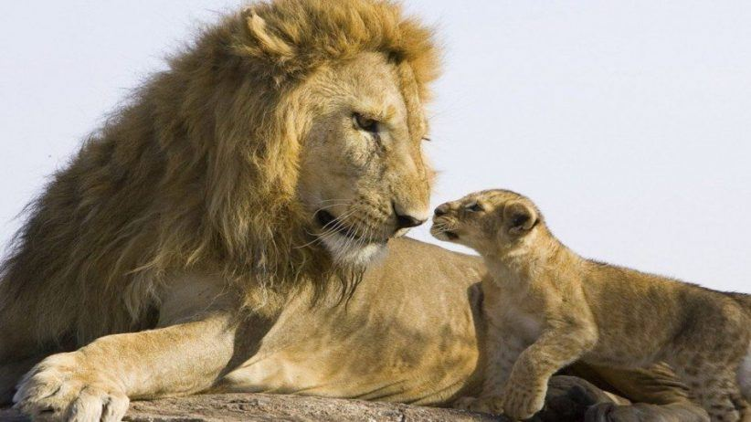 Lion And Cub 950x534